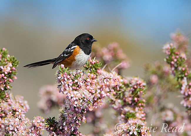 Spotted Towhee (Pipilo maculatus), male perched in flowering Desert Peach (Prunus andersonii), Mono Lake Basin, California, USA