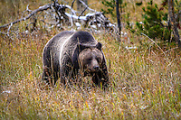 Grizzly bear. Great exposure. Do you have room in the crop to move the bear a little to the left and up? This will eliminate a little of log jab in the background, but more importantly give the bear more room to move into.