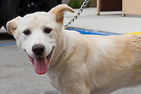 Superman, a male yellow labrador retriever.  N039.