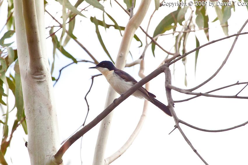Restless Flycatcher, Darling River, NSW, Australia