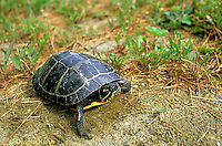 1R13-084z  Painted Turtle - adult female looking for nest site - Chrysemys picta