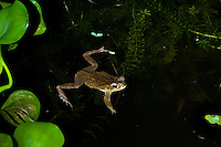 Marine Toad or Cane Toad (Bufo marinus) in pond, Playa Bluff Lodge, Colon Island; Panama