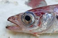 Close up of head of  Blue whiting Micromesistius poutassou Norwegian sea North Atlantic.