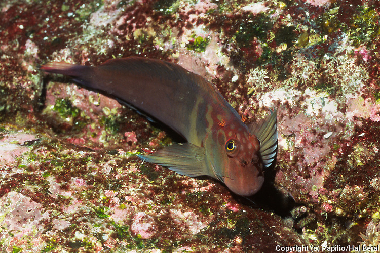 Large-Banded Blenny.(Ophioblennius steindachneri).Galapagos Islands