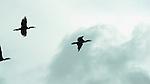 Cormoranes / aves de Panamá.<br /> <br /> Edición de 3 | Víctor Santamaría.