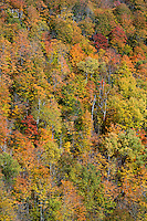 Autumn foliage on a stand of forest trees.