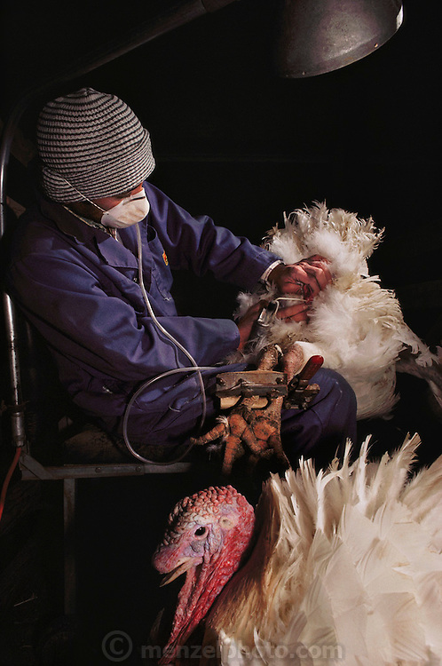 Poultry: Nicholas Turkey Breeding Farms, Sonoma, California, USA. Milking sperm from large male turkeys that are too big to breed naturally.