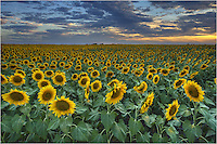 I don't think sunflowers are technically considered wildflowers, and the sunflowers in this field were commercially planted - uniform and in rows - but I still counld't resist taking this traveling from my home in the hill country more than several times to photograph these Texas sunflowers. I had several nice sunsets and the golden blooms seemed to stretch on forever - well at least to the horizone!