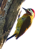 Male spot-breasted woodpecker