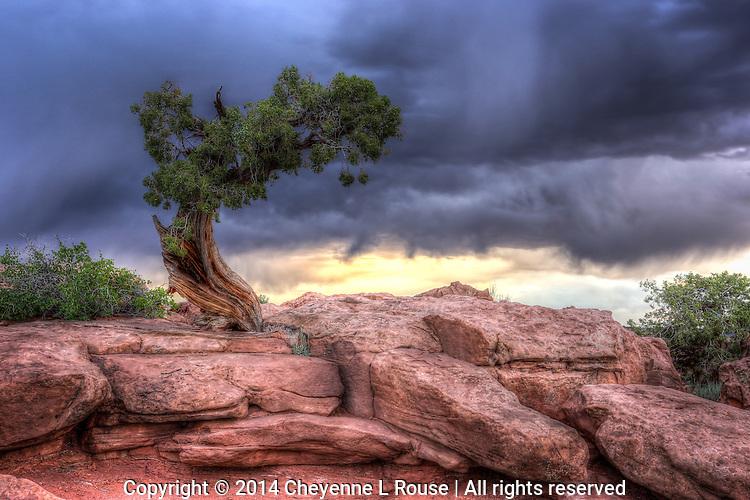Windswept Juniper - Utah - color<br /> Dead Horse State Park