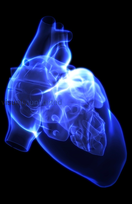 A lateral view (right side) of the chambers of the heart. Royalty Free