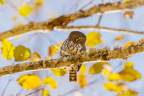 Northern Pygmy Owl or Northern Pygmy-Owl (Glaucidium gnoma) in backlit alder tree.  Pacific Northwest.  Fall.  A small woodland owl.
