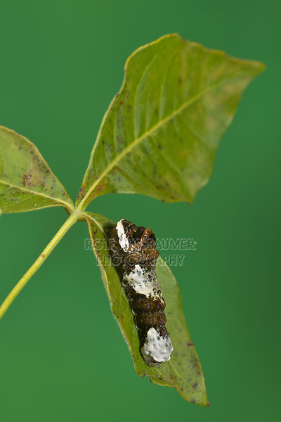 Giant Swallowtail (Papilio cresphontes), caterpillar series extending osmeterium, Hill Country, Central Texas, USA