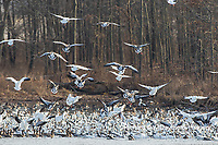 00754-02610 Snow Geese (Anser caerulescens) landing on lake Marion Co. IL