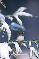 01569-006.18 Dark-eyed Junco (Junco hyemalis) in winter, Marion Co.   IL