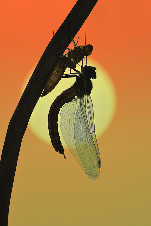 Brown Hawker - Aeshna grandis emerging at sunrise