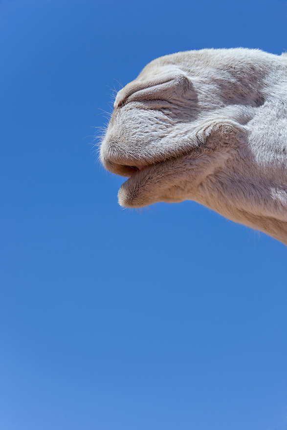 Mouth of a white dromedary (camel), close-up, against blue sky.