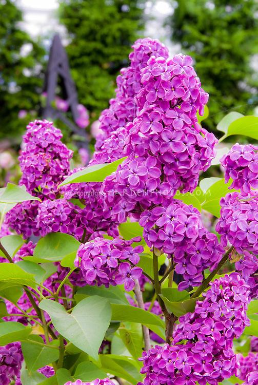Lilac in Bloom in May, Syringa vulgaris fragrant flowers