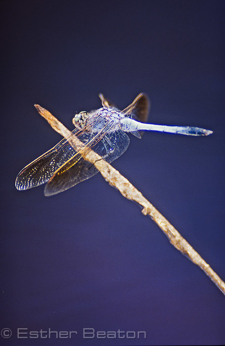 The blue male of (Orthetrum caledonicam) dragonfly over small pond. Nail Can Hill,  Albury, NSW