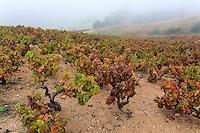 France, Rhône (69), région du Beaujolais, Vaux-en-Beaujolais, le vignoble en automne // France, Rhone, Beaujolais region, Vaux-en-Beaujolais, the vineyards in autumn