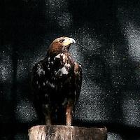 Un'aquila nella riserva Wwf Valpredina...An eagle in the Valpredina Wwf reserve.