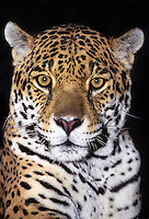 650359040 portrait of a wildlife rescue jaguar panthera onca at a wildlife rescue facility -species is highly endangered in its wild habitat in mexico central and south america -