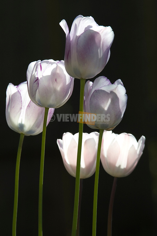 Tulip flowers, Beaverton, OR