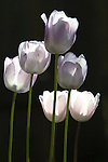 Tulip flowers, Beaverton, OR