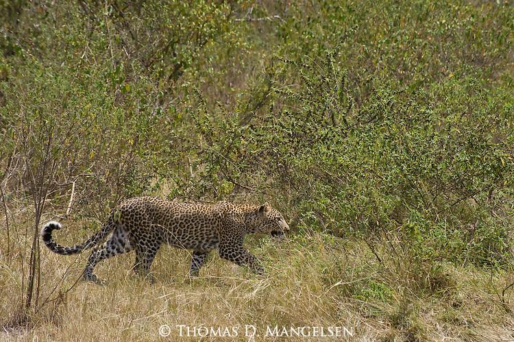 A leopard walks amongst trees and brush in Maasai Mara in Kenya.