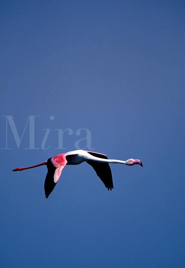 Greater Flamingo Phoenicopterus ruber, Namibia, Africa