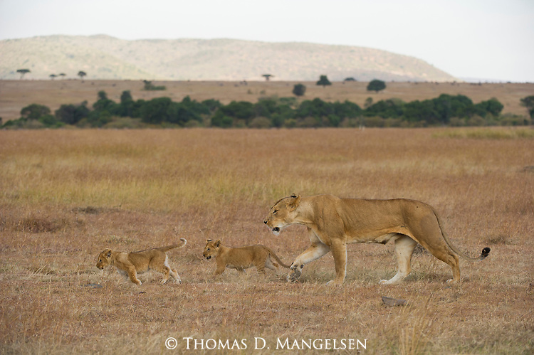 Two lion cubs walk with their mother across the savannah in Masai Mara, Kenya.