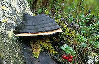 Fichtenporling, Fichten-Porling, Rotrandiger Baumschwamm, an einem Fichten-Baumstubben, Fomitopsis pinicola, Red Banded Polypore, Red-belted Bracket Fungus