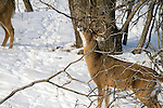 White-tailed deer rubbing on licking branch