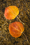 Orange leaf of an aspen tree in a stream in fall, Hope Valley, Alpine Co., Calif.