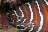 QT6463-D. Zebra Moray Eel (Gymnomuraena zebra). Baja, Mexico, Sea of Cortez, Pacific Ocean.<br /> Photo Copyright &copy; Brandon Cole. All rights reserved worldwide.  www.brandoncole.com