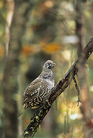 Spruce grouse in boreal forest, Fairbanks, Alaska