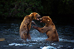 Brown Bear, McNeil River State Game Santuary, Alaska, USA