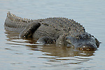American Alligator, Alligator mississippiensis, adult resting in shallow water, Everglades National Park, predator.USA....
