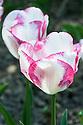 Tulip 'Salvo' (Triumph Group), late April.