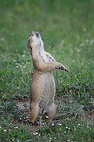 Immature Prairie Dog barking, San Angelo, TX