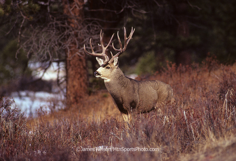 12-949. Mule deer buck in the Rocky Mountains of northern Colorado.