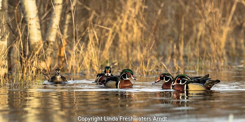 Wood ducks in northern Wisconsin