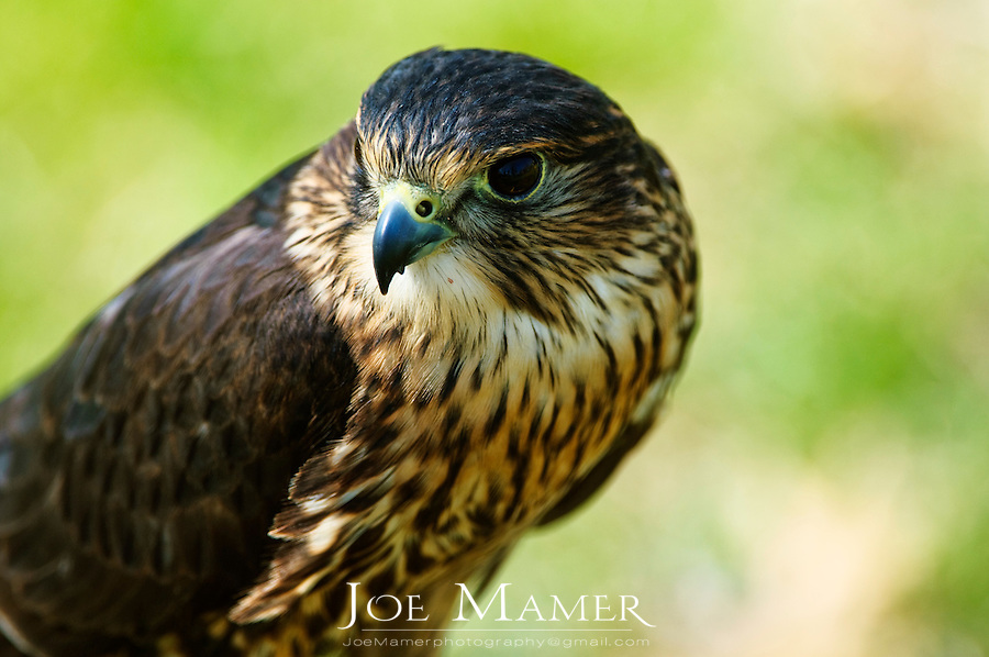 "The Merlin (Falco columbarius) is a smallish falcon that breeds in northern North America , Europe  and Asia. In North America it was once and sometimes still is colloquially called ""pigeon hawk"" though being a falcon it is not very closely related to true hawks."