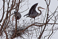 A rookery of Blue Herons on Grand Lake in Oklahoma.