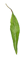 Common Evening-primrose - Oenothera biennis