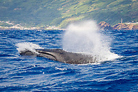 fin whale, Balaenoptera physalus, endagnered species, surfacing, Pico Island, Azores, Portugal, Atlantic Ocean