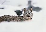 Canada lynx, Montana