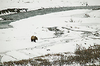 Grizzly bear walks across the snow in Atigun Canyon, Brooks Range, Alaska