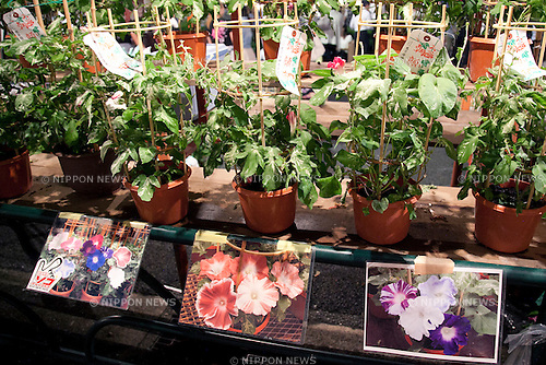 "July 8, 2014, Tokyo, Japan - Different kind of asagao plants at the ""Iriya Asagao-ichi Market Festival"" on July 8, 2014. The market festival was the most famous for asagao plants (morning glories) in Edo period, and has been held on July 6, 7, and 8 at the Temple of Iriya Kishimojin in Tokyo every year since late Edo period. The flower was introduced into Japan 1200 year ago from China for medical uses. (Photo by Rodrigo Reyes Marin/AFLO)"