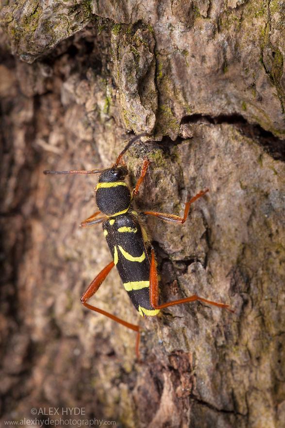 Wasp Beetle {Clytus arietis}, a wasp mimic. Peak DIstrict National Park, Derbyshire, UK. April.